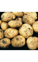 Seed potatoes- Foremost First Earlies 1kg